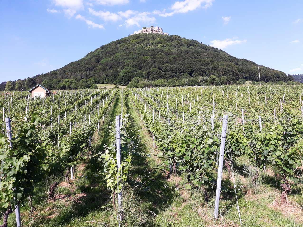 Burg Hohen Neuffen Weinberge