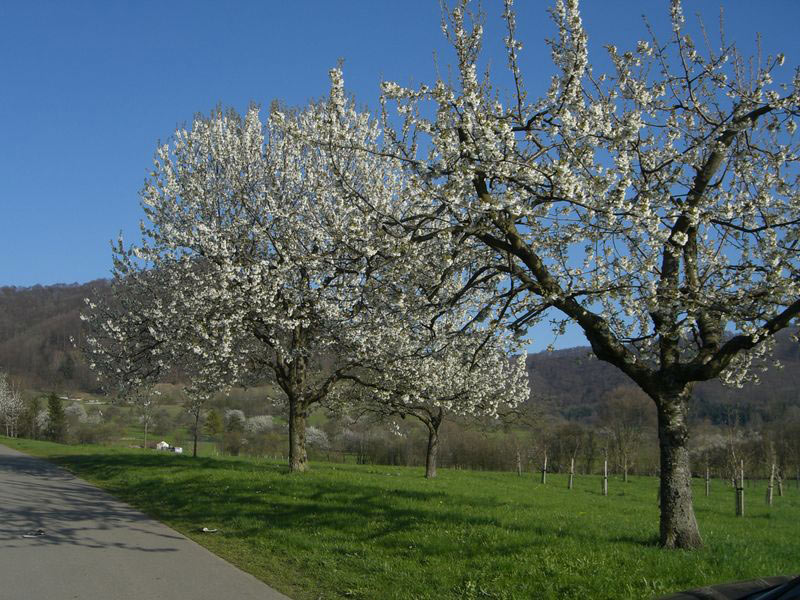 Obstbaumblüte in Neuffen
